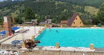 Корова прыгнула в бассейн к туристам: эпичное видео с Карпат