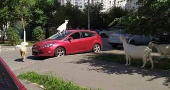 У Києві коза нахабно залізла на машину: фото