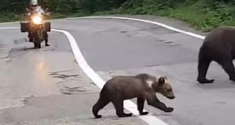 Медведи вышли на дорогу в Карпатах: впечатляющее видео из Румынии