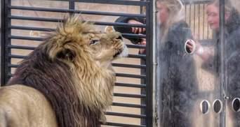 Зоопарк навпаки: у Південній Африці леви стрибають на клітку з туристами – епічні фото, відео