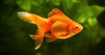 Рік, тиждень чи 3 секунди: яка насправді пам'ять у золотої рибки