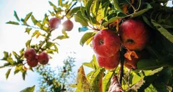 Украинцы не хотят собирать яблоки в Польше: фермеры вынуждены продавать фрукты за копейки