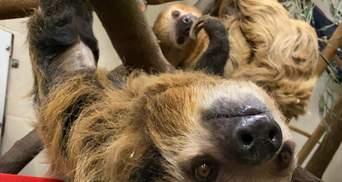Беременной самке ленивца подарили мягкую игрушку: самое милое фото дня