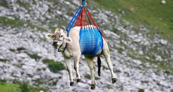 В Альпах коров с гор спускают на вертолете: впечатляющие фото и видео
