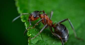 Вчені з'ясували, чому зуби мурах гострі, як скальпель