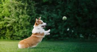 Які породи собак вважаються найграйливішими: результати дослідження