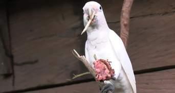 Папуги какаду можуть виготовляти інструменти, щоб виїсти серединку фруктових кісточок