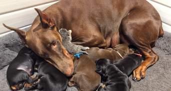 Грозная собака-доберман усыновила брошенного котенка: щемящие фото и видео