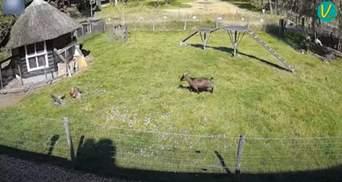 Герої дня: козел та півень врятували курку від яструба – вражаюче відео
