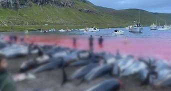 Масове вбивство на Фарерах: чому вбивають дельфінів в Данії