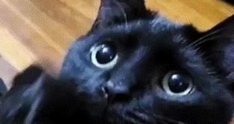 """Герой """"Шрека"""" знайдений: кіт з проникливим поглядом випрошує ласощі так, що неможливо відмовити"""