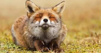 Без болю та страху: фотограф робить вражаючі кадри диких лисиць, які насолоджуються життям