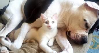 Цілющий кіт: як пухнастик рятує грізного пітбуля від страху й тривоги