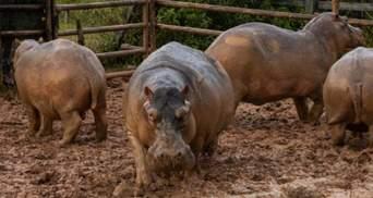 """Зоопарк Эскобара: зачем стерилизуют стадо """"кокаиновых"""" бегемотов"""