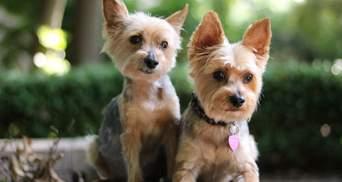Для тех, кто не любит гулять: 5 маленьких пород собак, которым хорошо в квартире