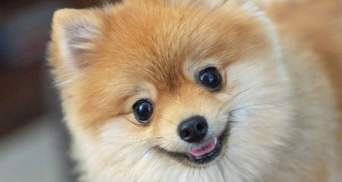 Шпиц с тремя лапками спас хозяина, который начал тонуть: что сделала собака