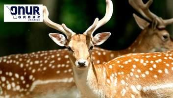 Пятнистые олени на Закарпатье: история фермы, где живут редкие для Украины животные
