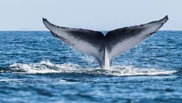 Олександр Усенко за допомогою сірки з вуха зробив сенсаційне відкриття про китів