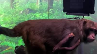 Мавпа зіграла у пінг-понг на комп'ютері за допомогою імплантата Neuralink
