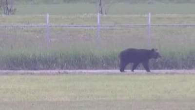 По японскому городу разгуливал огромный медведь: ранил 4 человек – видео