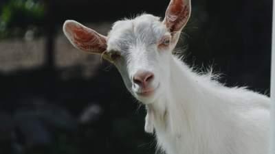 У Києві біля будівлі МЗС незворушно паслися кози: фото дня