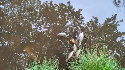 Массовая гибель рыбы и птиц в Голосеево: в прудах обнаружили ртуть