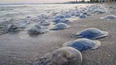 Залежить від солоності води: науковець розповів, коли медузи зникнуть з Азовського моря