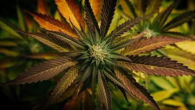 В Италии хотят провести референдум о легализации марихуаны