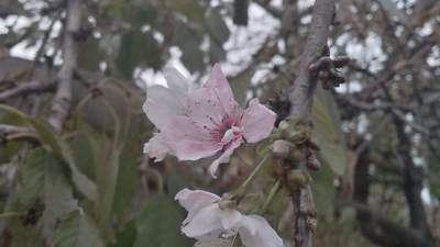 На Одещині посеред осені раптово зацвіли фрукти: яскраві фото