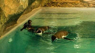 """До """"Борисполя"""" прибули самки пінгвінів із Амстердаму: фото та відео цих красунь"""