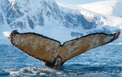 """""""Был не очень рад: украинцы в Антарктиде разбудили огромного кита – фото, видео"""