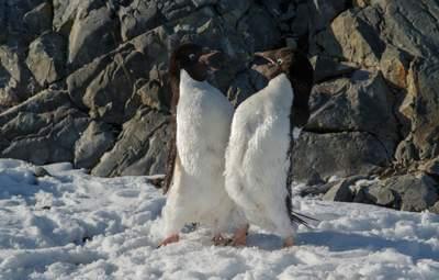 Разборки пингвинов попали на фото: забавные кадры