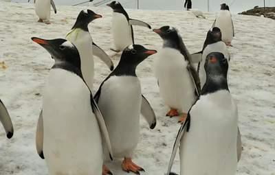 """Как пингвины """"изучают"""" полярников: милое видео"""