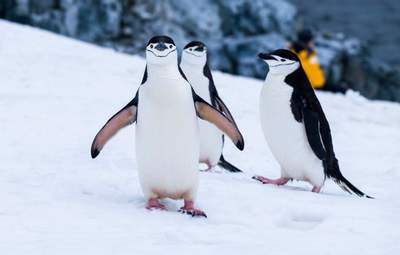 Всемирный день пингвинов: забавные фото от украинских исследователей Антарктиды