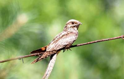 У Чорнобиль повернувся птах-привид: фото