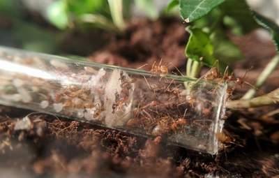 Мурахи як домашні улюбленці: незвичні історії вирощування вдома та на фірмі
