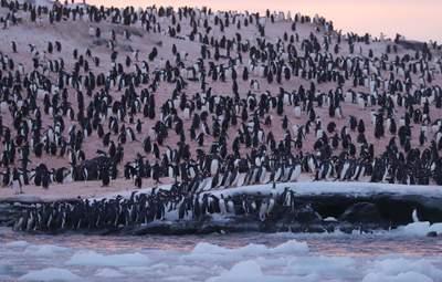 """Територію біля станції """"Академік Вернадський"""" заполонили пінгвіни: неймовірні фото"""