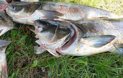Біля греблі ДніпроГЕС масово загинула риба – кілька тонн товстолобів