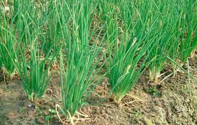 Лучший урожай: как правильно сеять лук