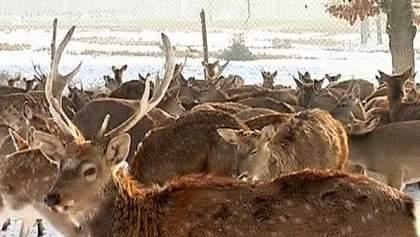 Особлива новорічна атракція – з'їздити на українську оленячу ферму