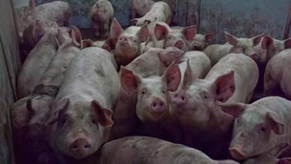 Росія знову хоче заборонити імпорт свинини з України