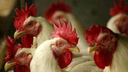Українська курятина повертається на ринок ЄС на особливих умовах