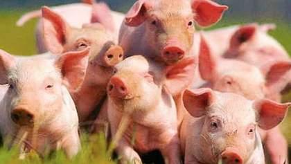 Поголів'я свиней в Україні досягло історичного мінімуму через чуму