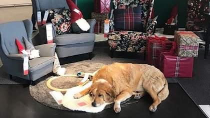 """IKEA разрешила бездомным собакам """"зимовать"""" в своих магазинах: милые фото"""