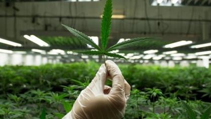 В Раде поддержали петицию о легализации марихуаны