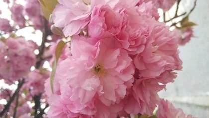 В Ужгороді зацвіла сакура: неймовірні фото весняного міста