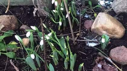 Аномальна зима в Україні: квітнуть проліски та фіалки – фото