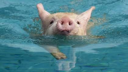 У басейн мільйонера з вертольота скинули свиню: відео