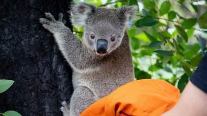 Постраждалі в австралійських пожежах коали повертаються додому: зворушливі фото