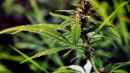 Коноплі: наркотик чи ліки, або Чому потрібно легалізувати канабіс в Україні?